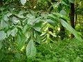 Hornbeam of Carpinus betulus Foliis Argenteovariegatis Pendula 140 - 160