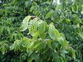 Граб Carpinus japonica 80 – 100