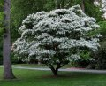 Tree snow Chionanthus retusus 30 – 40