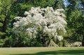 Дерево снежное Chionanthus virginicus 30 – 40