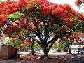 Дерево тюльпановое  Liriodendron chinense 60 – 80