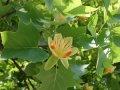 Дерево тюльпановое  Liriodendron tulipifera Fastigiatum  120 – 140
