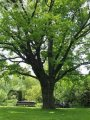 Oak of Quercus palustris Green Dwarf 180 - 200