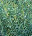 Willow of Salix Flame 160 - 180