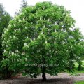 Каштан Конский  Aesculus ×bushii  60 – 80
