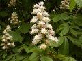 Каштан Конский  Aesculus ×carnea Marginata  80 – 100