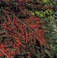 Кизильник Cotoneaster lamprofolius  120 – 140