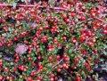 Кизильник Cotoneaster procumbens Queen of Carpets  20 – 30