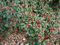 Кизильник Cotoneaster radicans Eichholz  25 – 30