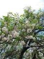 Ксантоцерас  Xanthoceras sorbifoliumA 40 – 60