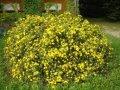Лапчатка  Potentilla fruticosa Chilo  20 – 30
