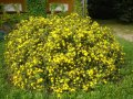 Лапчатка  Potentilla fruticosa Dakota Sunspot  20 – 30