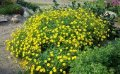 Лапчатка  Potentilla fruticosa Eisprinzessin  20 – 30