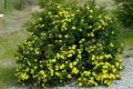 Лапчатка  Potentilla fruticosa Gold Drop  20 – 30