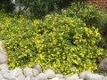 Лапчатка  Potentilla fruticosa Goldkissen  20 – 30