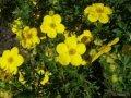 Лапчатка  Potentilla fruticosa Goldstar  20 – 30