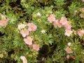 Лапчатка  Potentilla fruticosa Limelight  30 – 40