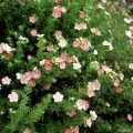 Лапчатка  Potentilla fruticosa Lucas Red  20 – 25