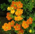 Лапчатка  Potentilla fruticosa Red Ace  20 – 30
