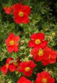 Лапчатка  Potentilla fruticosaLOVELY PINK  Pink Beauty PBR 20 – 30