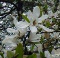 Магнолия Magnolia kobus 60 – 80