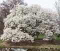 Magnolia of Magnolia kobus Isis PBR 300 - 320