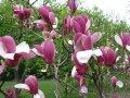 Magnolia of Magnolia Susan 60 - 80