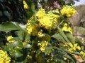 Магония Mahonia aquifolium 40 – 60