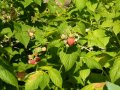 Малина Rubus illecebrosusA   20 – 30