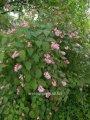 Нейлия Neillia affinis 40 – 60
