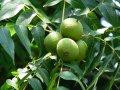 Black walnut Juglans nigra 120 – 140