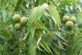 Black walnut Juglans nigra Laciniata 160 - 180