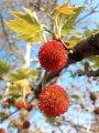 Платан  Platanus ×hispanica Acerifolia  180 – 200