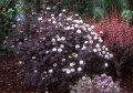 Пузыреплодник  Physocarpus opulifolius Dart s Gold  30 – 40