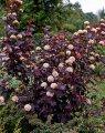 Пузыреплодник  Physocarpus opulifolius Dart s Gold  40 – 60
