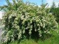 Пузыреплодник  Physocarpus opulifolius Red Baron  60 – 80
