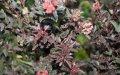 Пузыреплодник  Physocarpus opulifoliusLITTLE DEVIL  Donna May PBR 60 – 80
