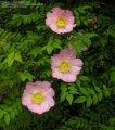Роза Rosa jundzillii  40 – 60