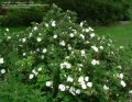 Роза Rosa rugosa Alba  A 40 – 60