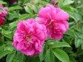 Роза Rosa rugosaADMIRATION  Rosa Zwerg    30 – 40