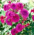Роза Rosa  GOLDEN PENNY  Rugul  20 – 30