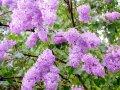 Lilac of Syringa×prestoniae Esterka 60 - 80