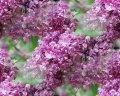 Lilac of Syringa×prestoniae Jagienka 60 - 80
