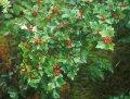 Смородина Ribes alpinum Schmidt  40 – 60