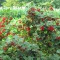 Смородина Ribes alpinum Schmidt  60 – 80