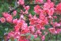 Хеномелес Chaenomeles ×superba Flocon Rose  A 140 – 160