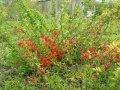 Хеномелес Chaenomeles ×superba Flocon Rose  A 30 – 40