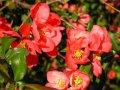 Хеномелес Chaenomeles ×superba Hollandia  A 30 – 40