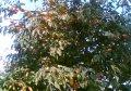 Хурма Эбеновая  Diospyros lotus  80 – 100