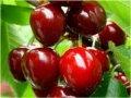 Prunus avium Pendula 100 - 120 sweet cherry